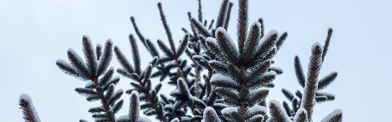 Photo of a pine tree.