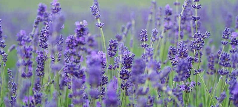 Photo of a lavender field.