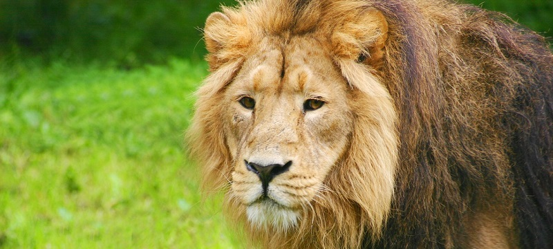 Photo of a lion at Chester Zoo.