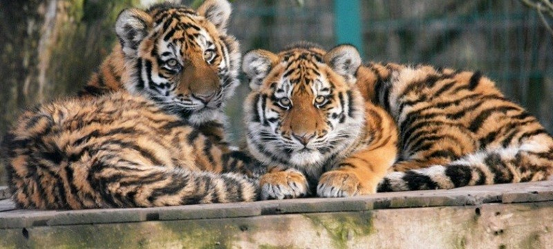 Photo of tigers at Blackpool Zoo.