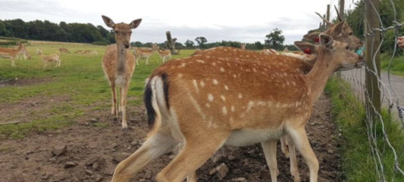 Photo of Deer at the Scottish Deer Centre
