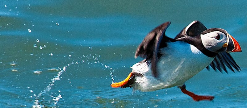 Photo of a puffin skimming the water.