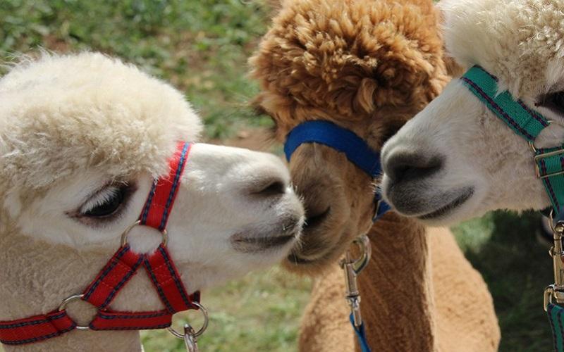 Photo of alpacas at Fairytale Farm.