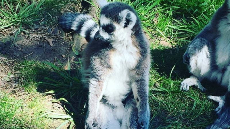 Photo of a lemur.