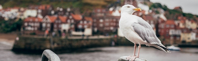 Photo of a seagull in Whitby.