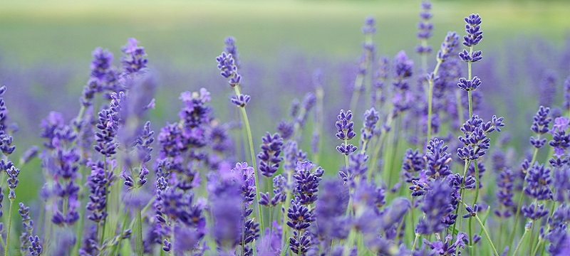 Photo of Lavender.